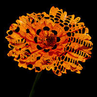 Lace Orange Aster