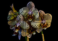 Irish Lace Orchids